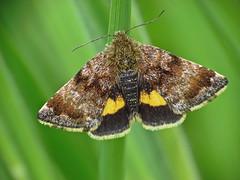 HolderSmall Yellow Underwing