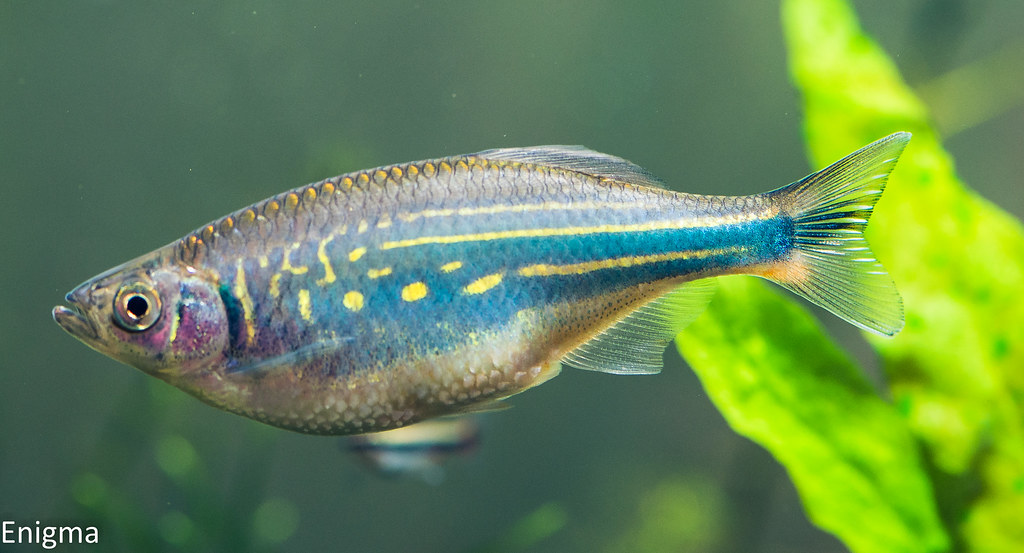 Aquariumlife - Devario aequipinnatus - Giant danio