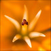 159/365 - Asiatic Lily by *ian*