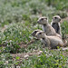 Prairie Dogs - Wondering What to Do by rivadock4
