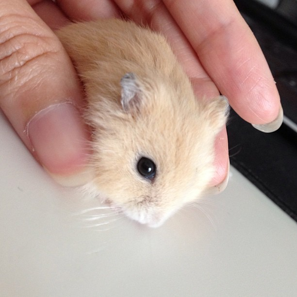 I got a new pet! Everybody, meet Godiva. 1 mth old Winter Gold hammy. #cute #cuteoverload #hamster #wintergold #godiva #pet