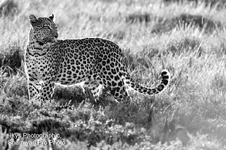 Leopard - Shamwari Pro Photo Safaris