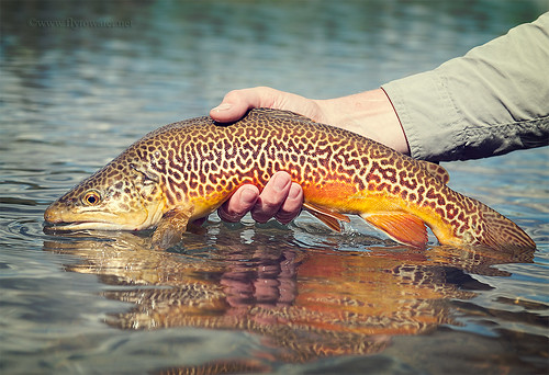 Tiger Trout Toned