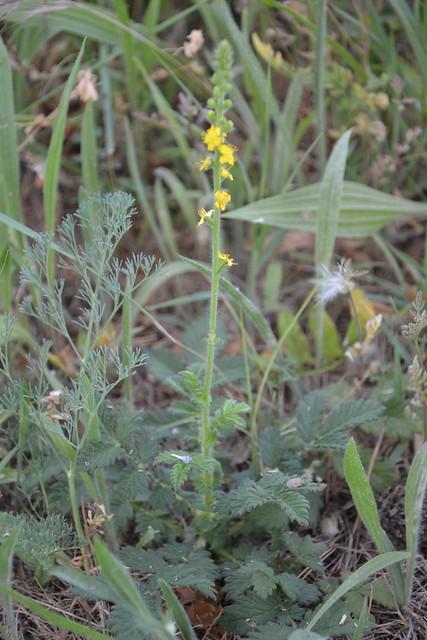 Agrimonia eupatoria - aigremoine eupatoire 9206185767_e1758d98b2_z
