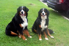 dog breed, animal, dog, appenzeller sennenhund, pet, greater swiss mountain dog, entlebucher mountain dog, bernese mountain dog, carnivoran,