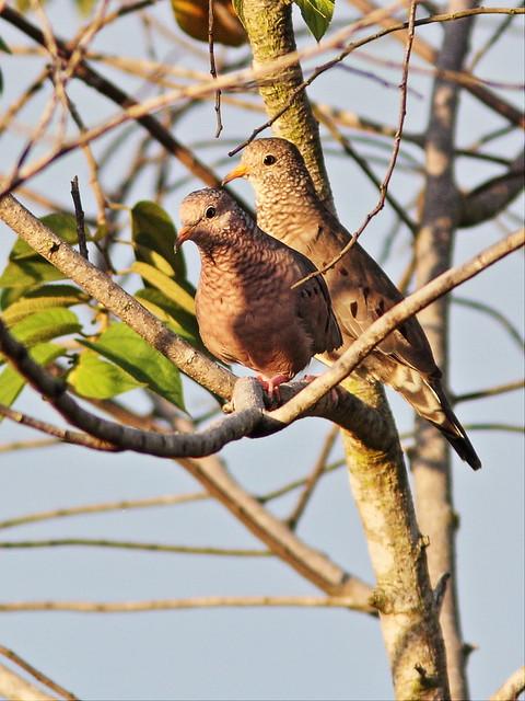 Common Ground-Doves 20131004