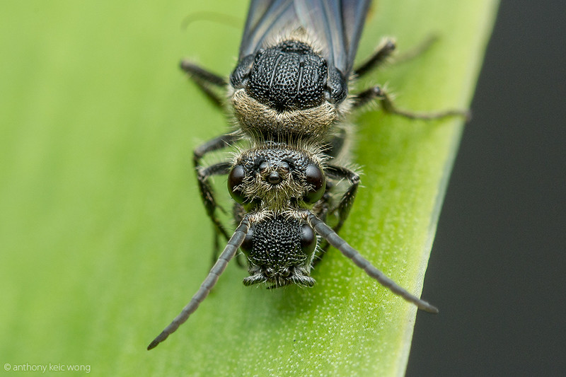 Trogaspidia sp, Mutillidae