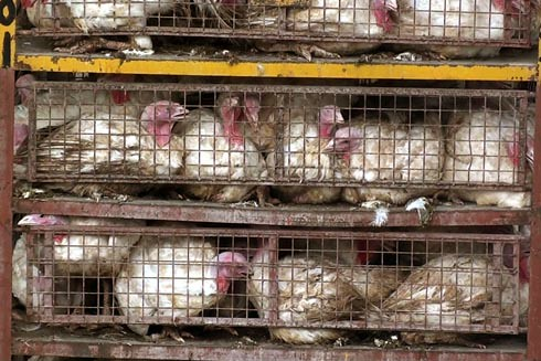 זוגלובק - תרנגולי הודו מתבוססים בצואה בכלובים