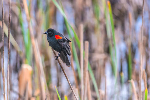 bird on reed  by joeeisner