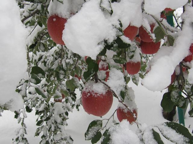 積雪りんご2