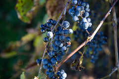 blackberry(0.0), shrub(0.0), flower(0.0), plant(0.0), macro photography(0.0), produce(0.0), food(0.0), berry(1.0), branch(1.0), flora(1.0), fruit(1.0), prunus spinosa(1.0),