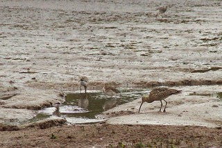 Curlew feeds