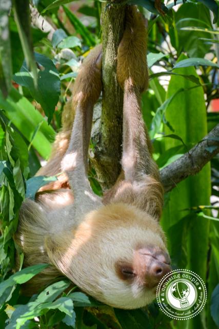 Baby Sloth Jaguar Rescue Center