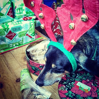 Tut checking out the goodies from Gramma & Grampa in SC #dogstagram #dogtreats #latergram