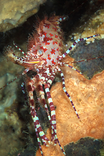 Saron marbled shrimp