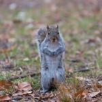 Grey squirrel of Central Park