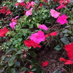 annual plant, shrub, flower, plant, flora, busy lizzie, petal,