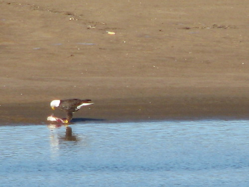 A bald eagle perches on a sandbar, eating a fish he grabbed from the Arkansas River at Tulsa, January 2014