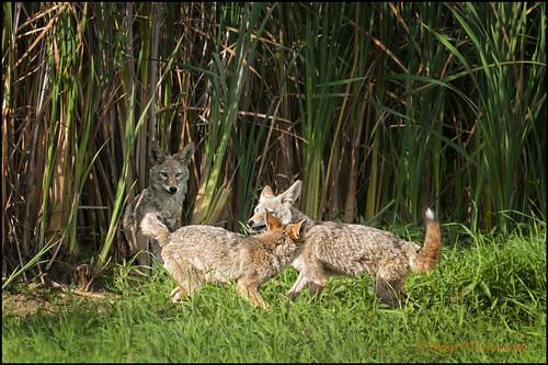 nature washington pups wildlife coyotes canislatrans tamron400mm wetand ridgefieldnwr pentaxk20d