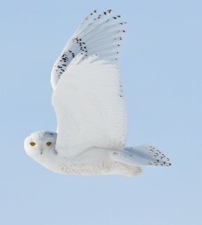 Snowy Owl In Flight #2