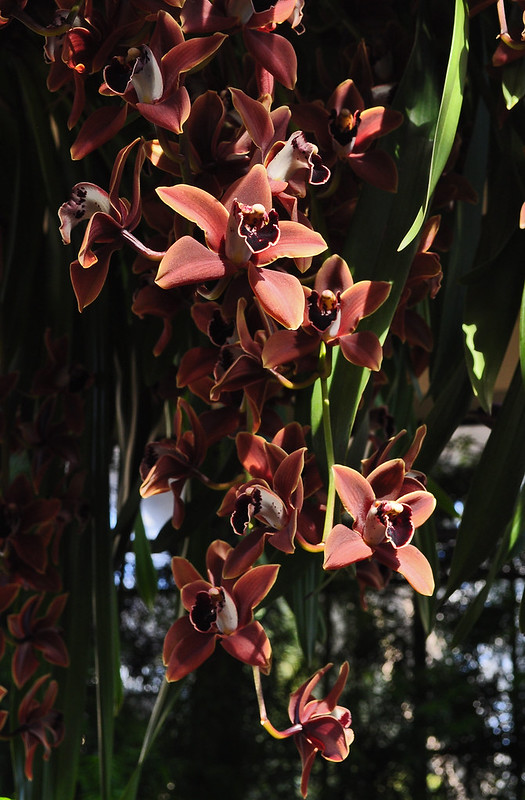 Cymbidium Edith McDade 'New Horizon' (2)