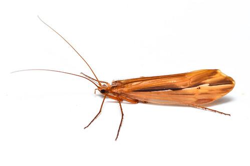 Caddisfly