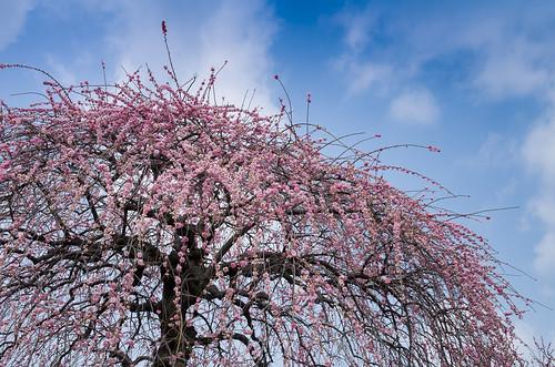 Prunus mume form. pendula