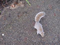 Grey squirrel in Castle Park IMG_4519