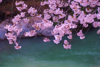 Sakura & the river