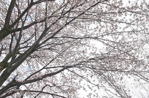 【写真】2014 桜 : 平野神社/2020-06-29/IMGP5569