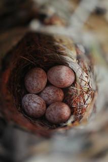 鳥巢箱中棕面鶯產下的卵。(攝影:傅國銘)