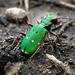 Green Tiger Beetle by Roger B.
