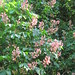 Small photo of Aesculus