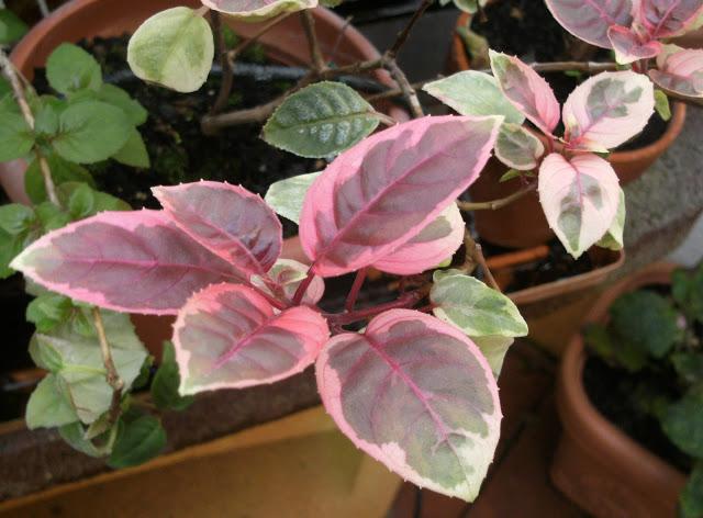 1plantas begonia diarioecologia