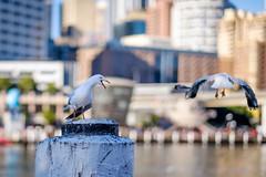 Darling Harbour - seagulls / bokeh