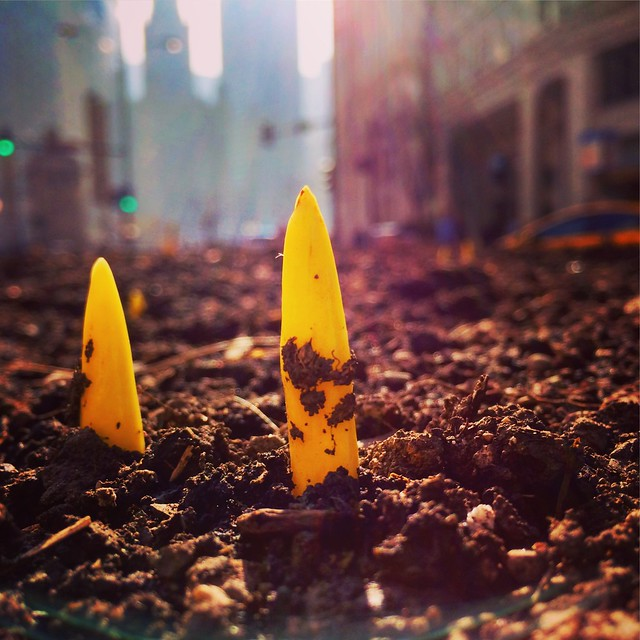 Tulips breaking ground in Chicago
