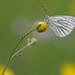 Pieris napi (klein geaderd witje, Green-veined White) by Rob Blanken