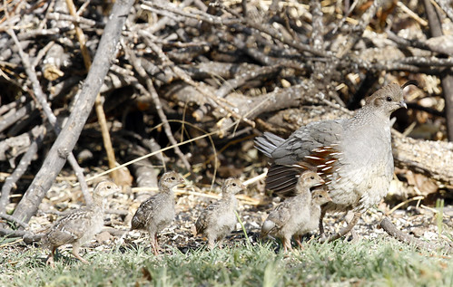 Gambel Quail with chicks