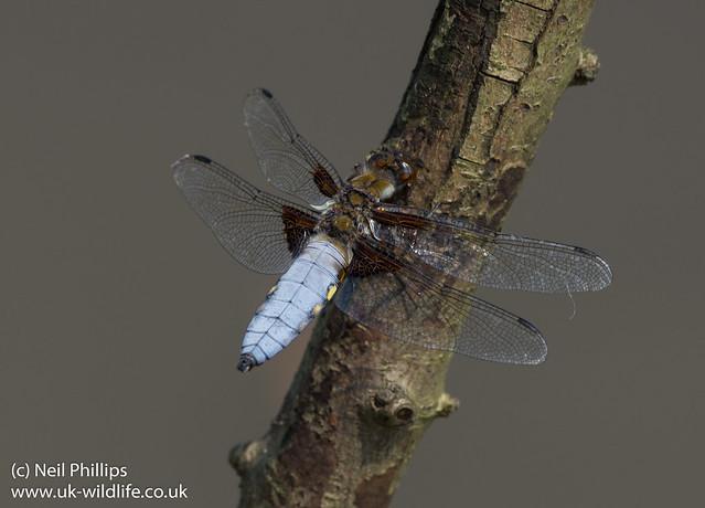 Broad bodied chaser male Libellula depressa
