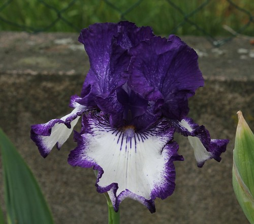 Nos Iris : floraisons 2012 8988145479_fafe8a78fa
