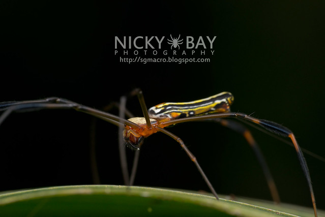 Golden Orb Weaver (Nephila sp.) - DSC_7407