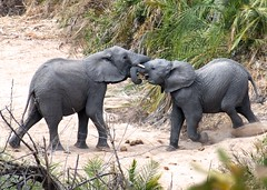 rogersmj posted a photo:	Two young elephant wrestle. Shot from the pool deck at our lodge.