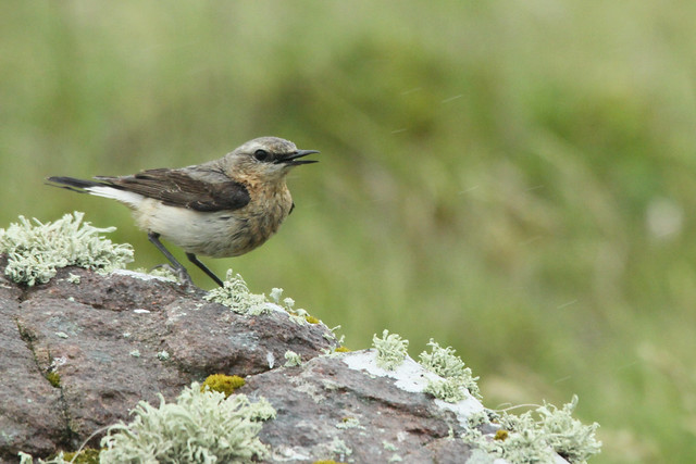 Wheatear- Wet Wet Wet