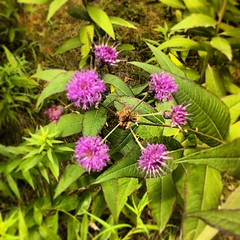 Veronica gigantea / Giant Ironweed
