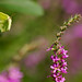 Brimstone Butterfly in flight by Chris McLoughlin
