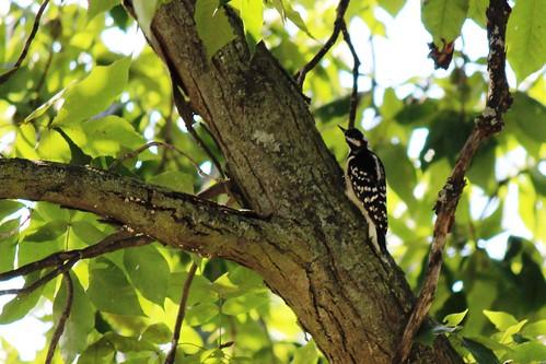 IMG_1289_Female_Downy_Woodpecker