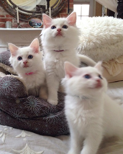 White Ragdolls with Deep, Clear, and Bright Blue Eyes! Purebred SBT registered Ragdolls from AngelGirls