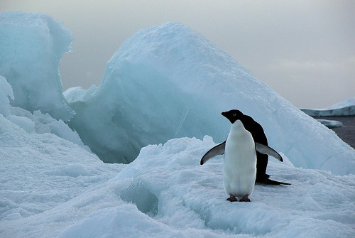 Sea ice with Adelie Penguins - Paulet Island by Hannes Rada