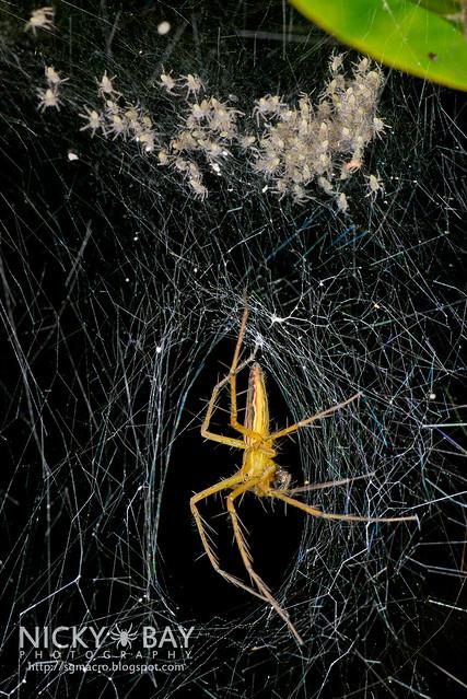 Nursery Web Spider (Hygropoda sp.) - DSC_5104