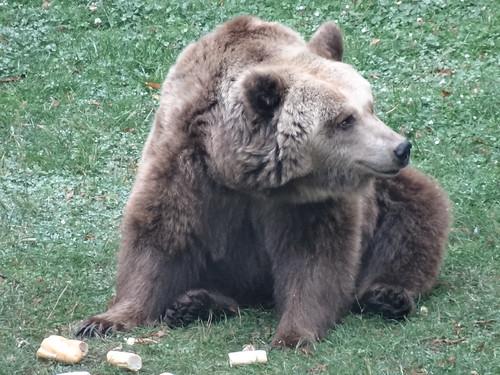 Ein Bär der sonst die kurdischen Schluchten und Wälder bewohnt ist  im Burggraben von Torgau ein eher unschädliches Wild 0573
